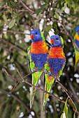 Rainbow Lorikeet, Trichoglossus haematodus moluccanus, Brisbane, Australia