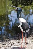 Black-necked Stork, Ephippiorhynchus asiaticus, Queensland, Australia