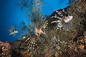 Red Lionfish, Pterois volitans, Marovo Lagoon, Solomon Islands