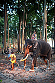 Elefant Rajan traegt Touristen zum Barefoot at Havelock Resort, Badak Baeume direkt am Beach No.7, Westkueste, Havelock Island, Andaman Islands, Union Territory, India