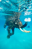 Swimming elephant, snorkelers and divers accompanying him, Havelock Island, Andaman Islands, Union Territory, India