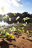 Butterflies along the riverbank of the Paraguacu, near the cave Poco Azul, east of the Chapada Diamantina National Park, Andarai, Bahia, Brazil