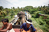 Temple elephant on a truck, mahouts riding on the drivers cab, elephant is on loan for 100,000 rupees per day for Hindu temple festivals, road east of Chalakudy, Kerala, Western Ghats, India
