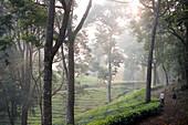 Walk through tea plantation and Silver Oak Trees at Woodhouse Mansion, Woodbriar Tea Estates in Valparai, Tamil Nadu, Western Ghats, India