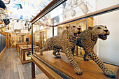 France,Paris, 3rd district, Museum of Nature and Hunting, The Trophy Room, Panthers Africa naturalized