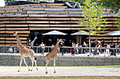 France,Paris, Vincennes, Zoo de Vincennes, Area Sahel Sudan, Giraffes past the restaurant and visitors
