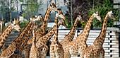 France, Paris 12th district, Wood of Vincennes, Zoo of Paris (formerly called Zoo of Vincennes), Giraffes