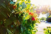 Close up of raspberries growing on leafy vines
