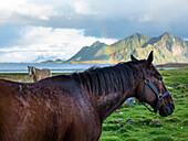 Close up of horses grazing in coastal fields