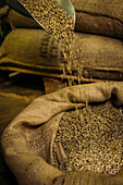 Shovel pouring raw coffee beans into sack