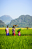 Asian family walking under parasols in rural field