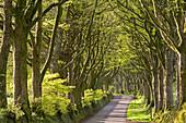 Avenue of mature deciduous trees in spring near Bridestowe, Dartmoor National Park, Devon, England, United Kingdom, Europe