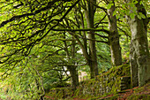 Mature deciduous trees in Exmoor National Park, Somerset, England, United Kingdom, Europe