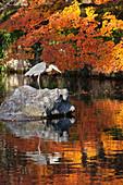 Heron on lake in autumn, Eikan-do Temple, Northern Higashiyama, Kyoto, Japan, Asia