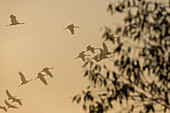 Silhouettes of flying crane flock in the sky in the warm backlight by the rising sun in the morning. Branches of a tree in the foreground - Linum in Brandenburg, north of Berlin, Germany