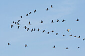 Big crane flock flying in formation under the blue sky. A gray goose flying in opposite direction - Linum in Brandenburg, north of Berlin, Germany