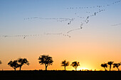 Silhouettes of cranes in formation flight in the red-colored sky of the setting sun. In the foreground silhouettes of many leafless trees in autumn, on the horizon, the last yellow sun rays, Linum in Brandenburg, north of Berlin, Germany