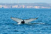 Fluke of a humpback whale, Sagres, Algarve, Portugal