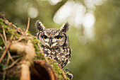 Spotted eagle owl (Bubo africanus), Herefordshire, England, United Kingdom, Europe