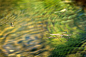 Close-ups of a water strider on the water surface, biosphere reserve, Schlepzig, Brandenburg, Germany