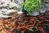 Teich mit Goldfischen in Tainan, Taiwan, Republik China, Asien