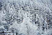 snowy forest of lark trees, Schnalstal, South Tirol, Italy