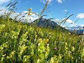 Blooming alpine meadow, view to Serles, Stubai Alps, Tyrol, Austria