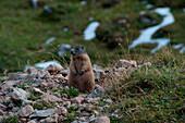 Marmot near Passo Ombretta, Marmolada, Dolomites, South Tyrol, Italy