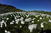 Cotton gras in the Wattener Lizum, Tux Alps, Tyrol, Austria