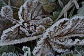 Frozen leaves in Lech Valley, Lechtal Alps, Tyrol, Austria