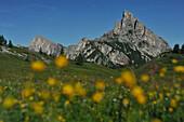Blooming alpine meadow on Falzarego Pass, View to Hexenstein, Falzarego Area, Dolomites, South Tyrol, Italy