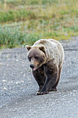A grizzly bear Ursus arctos horribilis with mouth slightly open walks on the park road in Denali National Park, Alaska, United States of America