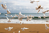 A flock of white birds takes flight on a beach at the water's edge, Benidorm, Spain
