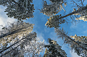 Looking up at the trees in winter, Whitehorse, Yukon, Canada