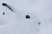 Arctic hare Lepus arcticus, Churchill, Manitoba, Canada