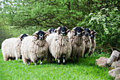 Pedigree Dalesbred yearling rams in wool, Yorkshire, England