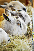 Blue Faced Leicester sheep eating hay out of a rack, United Kingdom