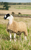 North of England mule lamb ready for sale, Cumbria, England