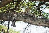 Leopard sprawled on tree limb near Ndutu, Ngorongoro Crater Conservation Area, Tanzania