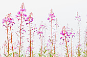 Fireweed Chamerion angustifolium detail with flowers in bloom on a bright white background, Noatak, Alaska, United States of America