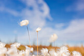 Tufts of Cottongrass Eriophorum with blue sky in the distance, Noatak, Alaska, United States of America