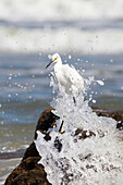 Egret on standing on a beach rock with a wave crashing and splashing up around the bird, United States of America
