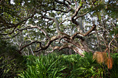 Old, twisted tree with a large canopy stretching out in a coastal forest, United States of America