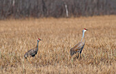 Two Sandhill cranes during their courtship dance on a sunny day in the Palmer Haystack Flats Wildlife refuge in South Central Alaska.