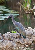 Hadada or hadeda ibis Bostrychia hagedash, Shaba National Reserve, Kenya