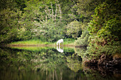 White horse drinking water from a stream by a lush green woodland, County Galway, Ireland