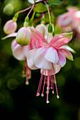 Fuchsia plant in bloom, Kailua, Island of Hawaii, Hawaii, United States of America
