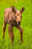 Close up of a moose calf, Kincaid Park, Anchorage, Southcentral Alaska, summer