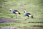 Pair of Grey Crowned Cranes Balearica regulorum walking on floor of Ngorongoro Crater, Tanzania