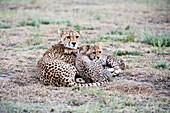 Cheetah Acinonyx jubatus cubs snuggle next to mother in open grassland near Ndutu, Ngorongoro Crater Conservation Area, Tanzania